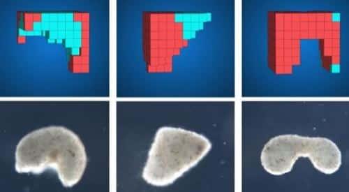 Xenobots, que son los robots vivos o biobots sacado de embriones ce células de rana que revolucionará la medicina y la ciencia